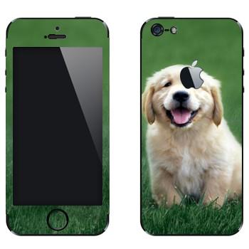 Виниловая наклейка «Щенок золотого ретривера» на телефон Apple iPhone 5